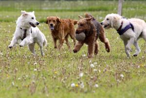 Hunde leger